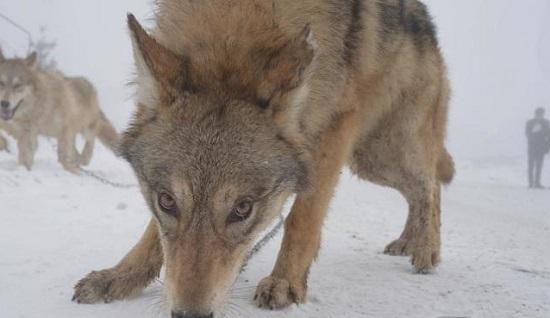 众所知周,狼是凶残的动物,尤其是野狼.